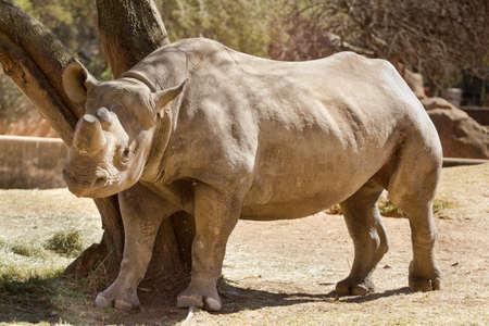 Hook-lippen Black African Rhinoceros