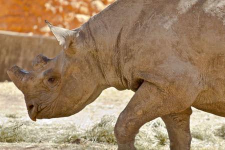 Hook-lipped Black African Rhinoceros