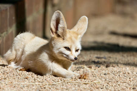 A sleepy Fennec, the smallest fox in the world