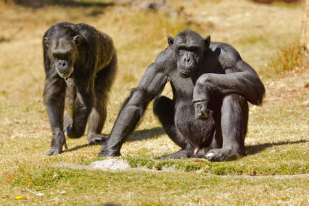 troglodytes: Two adult Chimpanzees native to west and Central Africa