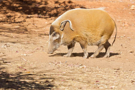 A stout Red River Hog with long curly ears on a dry arid land