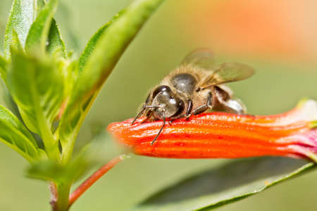 붉은 꽃 안에 꿀을 파고 꿀벌 스톡 콘텐츠