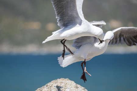 Twee meeuwen met hun snavel vergrendeld terwijl op de vlucht in de lucht Stockfoto