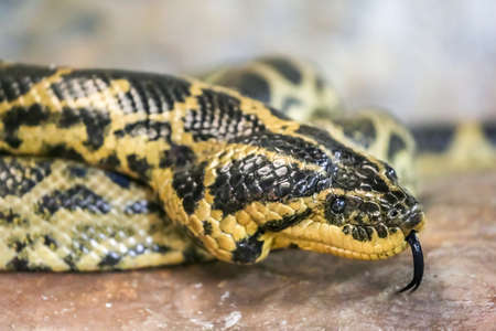 A close-up shot of a yellow and black colored venomous snake