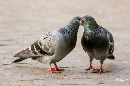 beaks: Due piccioni baciare, tra l'bloccando il becco