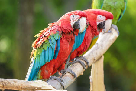 Beautiful multi colored macaw predominantly red and blue and green colors 스톡 콘텐츠
