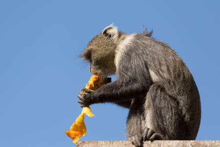 pealing: A small monkey sitting on a platform and eating a mango