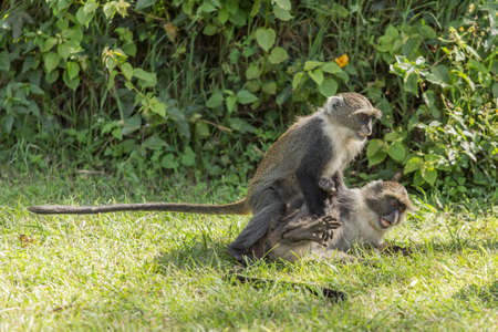 Two wild monkeys agressively fighting eachother where one is on top of the other Stock Photo - 17133625