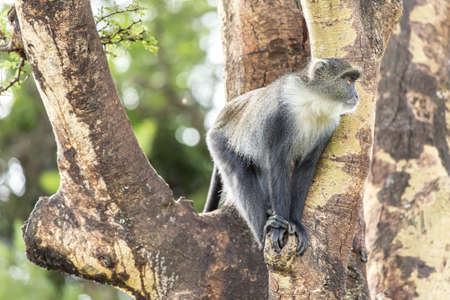 A small monkey with a furry white neck sitting comfortably on a tree Stock Photo