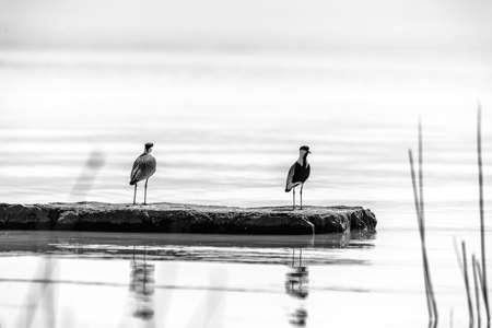 Two birds standing on a rock platform at  lake Langano in Ethiopia