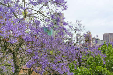 Pretoria, South Africa, also known as the Jacaranda City due to the large number of Jacaranda trees planted photo