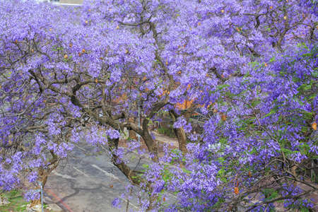 Streets of Pretoria, covered with beautiful flowers of Jacaranda trees photo