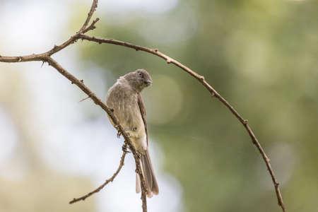 grigiastro: Un po 'grigio marrone Brid colorato in piedi su un piccolo ramoscello