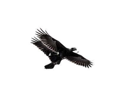 Two crows flying in the air in tandem at close proximity Reklamní fotografie
