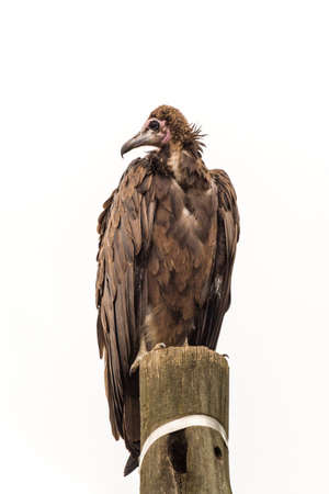 A large vulture standing on a wooden telephone pole with its head up Banco de Imagens - 21729775
