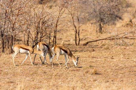 springbuck: Springbok roaming freely in the dry savannah lands of Pilanesberg National Park, South Africa