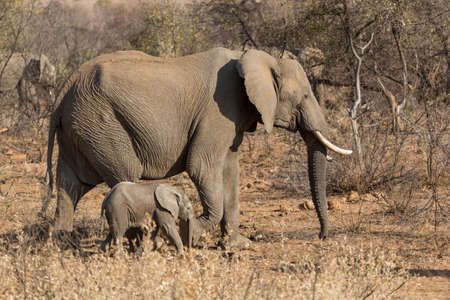 A mother and a baby elephant wandering in the grasslands of South Africa's Pilanesberg National Park Stock fotó