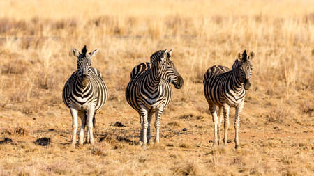 Three zebras standing next to eachother in the dry savannah lands of Pilanesberg National Park, South Africa