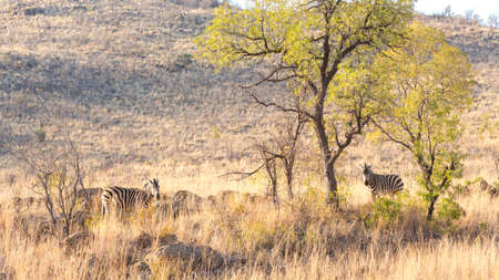 Two zebras on the lookout for predators in the dry savannah lands of Pilanesberg National Park, South Africa