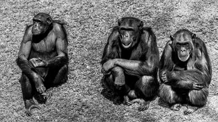 Three chimps sitting next to eachother Stock Photo