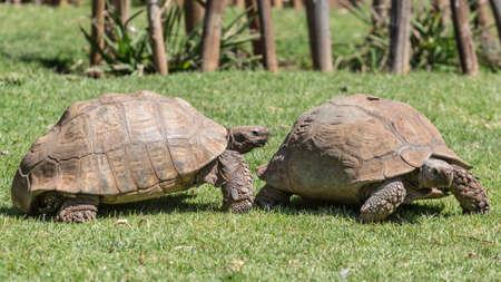 sulcata: A male Sulcata tortoise slowly following its female counterpart