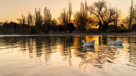White ducks swimming on the golden colored zoo lake lit by the setting sun photo