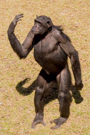 Male adult chimp communicating with facial expression and hand gestures Imagens