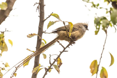 grigiastro: Una bella lunga Mousebird coda macchiata seduto su un sottile ramoscello