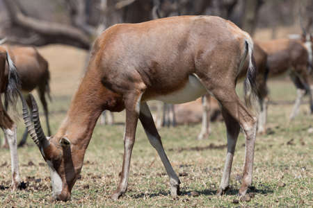 herbivore: A Blesbok, a large herbivore endemic to South Africa in a South Africa National Park