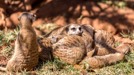 Meerkats huddled together with one on guard, and another alert and on the lookout