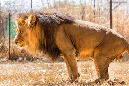 An adult male lion marking its territory by urinating on the ground