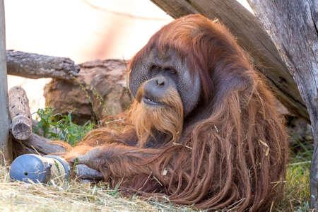 Portrait of an old urangutan with long tangled hair Stock fotó