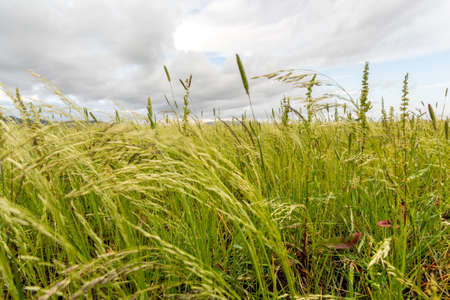 Beautiful Eragrostis tef, field native to the northern Ethiopian highlands, in a typical rural farmland of Ethiopia