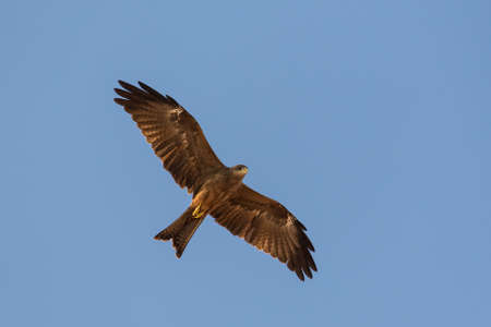 Black Kite which is locally known as Amora, flying in the air Stock Photo