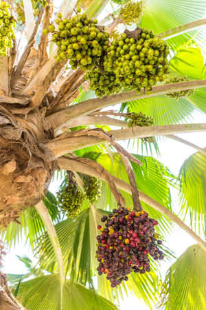 dactylifera: Phoenix dactylifera, also known as date palm, bearing edible sweet fruit.