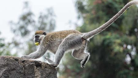 ledge: Monkey on a ledge Stock Photo