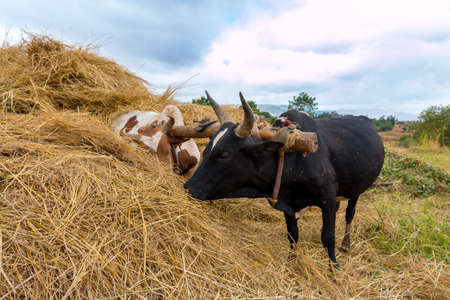 A pair of oxen fitted with a yoke eating from a haystack