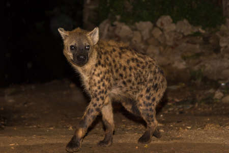 A spotted wild hyena searching for food to scavenge near the city borders of Harar in Ethiopia