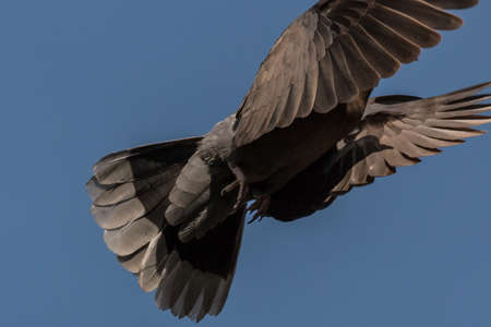 A pigeon flying high up in the air with its wings spread Banco de Imagens - 35516509