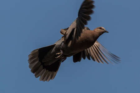 A pigeon flying high up in the air with its wings spread Banco de Imagens - 35516549