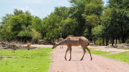 the game reserve: Kudu at the Gaborone Game Reserve in Gaborone, Botswana