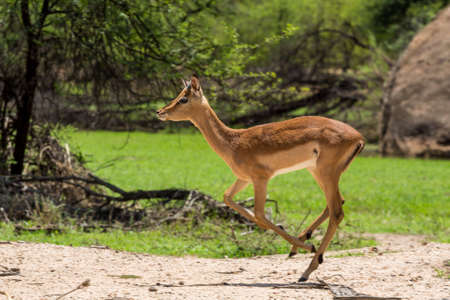 Impala at the Gaborone Game Reserve in Gaborone, Botswana photo