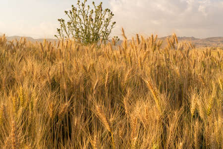 Wheat field in a rural farmlands of Ethiopia lit by the golden lights of a setting sun photo