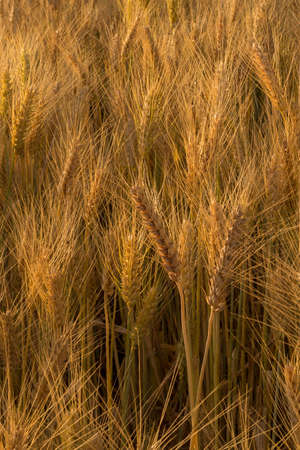 farmlands: Wheat field in a rural farmlands of Ethiopia lit by the golden lights of a setting sun