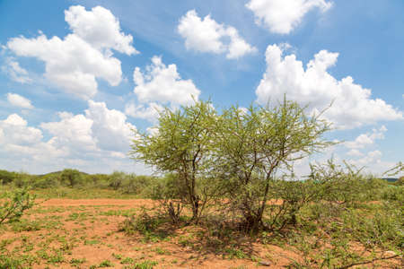 Shrubs which are the typical vegetation common in the dry savannah grasslands of Botswana photo