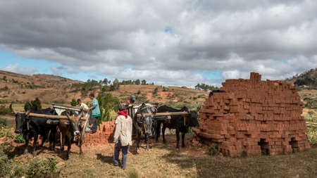 oxen: Antsirabe, Madagascar - May 24: Locally produced bricks are loaded on to carts pulled by pairs of oxen fitted with a yoke on May 24, 2014 in Antsirabe, Madagascar.
