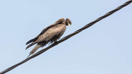 Black Kite, a medium sized bird of pray locally known as Amora,