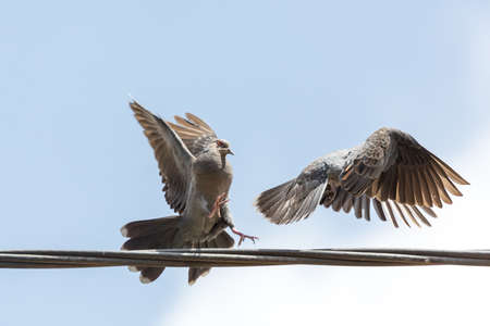 Two pigeons fighting over an electric line which they use as a place to sit