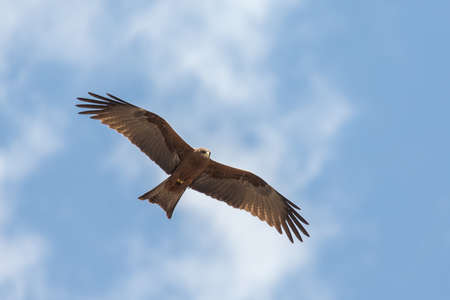 Black Kite locally known as Amora, flying in the air