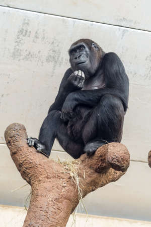 A chimpanzee sitting with his hands oh his chin appearing to be in deep thought Banco de Imagens